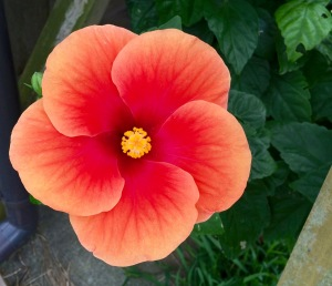 Head south, hibiscus 1